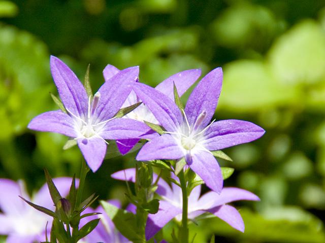 カンパニュラ ブルーリブレット | 季節の花[淀]フリー写真素材