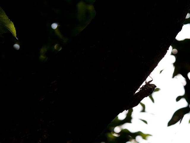 油蝉(あぶらぜみ)の写真(フリー素材)