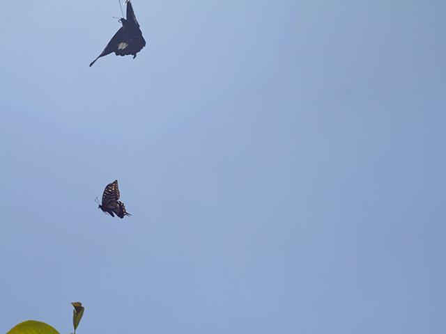 アゲハチョウとクロアゲハの写真(フリー素材)