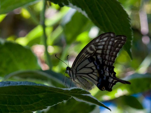 アゲハチョウの写真(フリー素材)