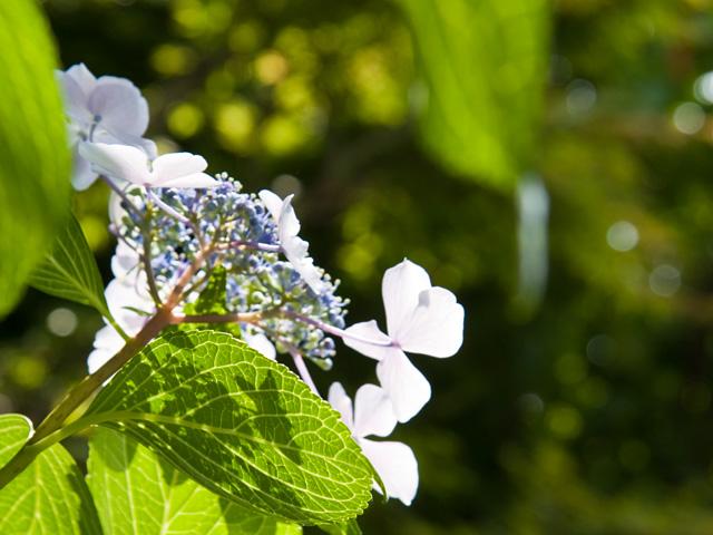 萼紫陽花(がくあじさい)の写真(フリー素材)