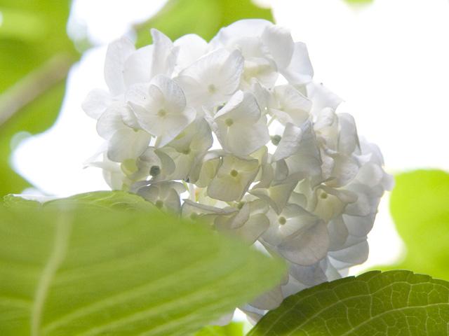 ホワイトダイヤモンド(紫陽花 あじさい)の写真(フリー素材)