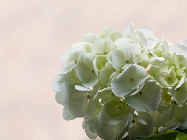 紫陽花(あじさい)の写真(フリー素材)
