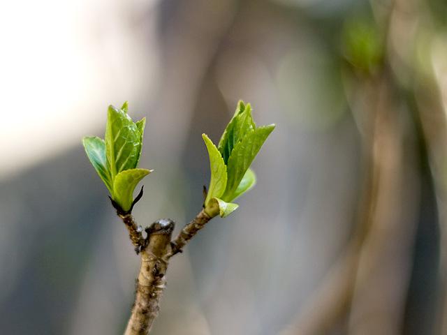 紫陽花(あじさい)の葉の写真(フリー素材)