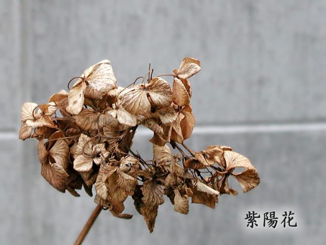 紫陽花(あじさい)ドライフラワーの写真(フリー素材)