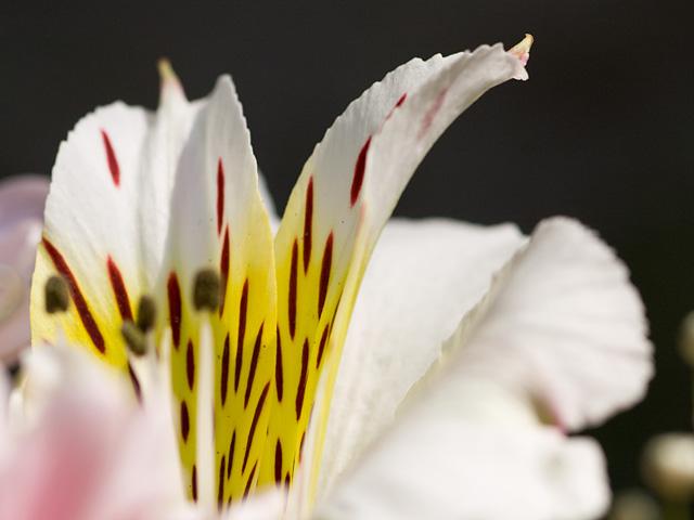 アルストロメリア(百合水仙)の写真(フリー素材)