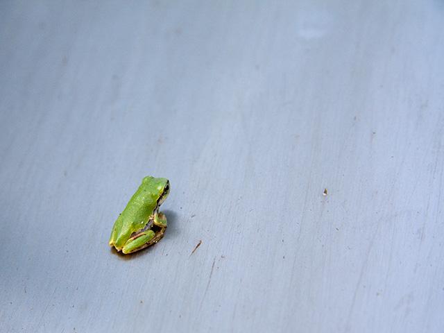 アマガエル(雨蛙)の写真(フリー素材)