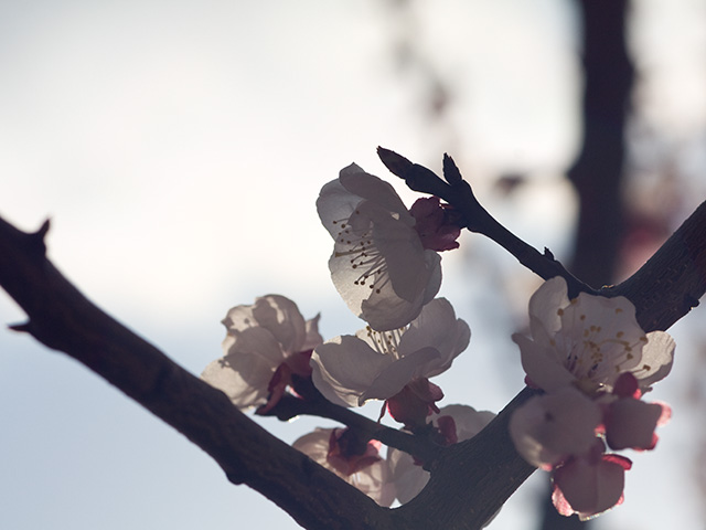 杏(あんず)の写真(フリー素材)