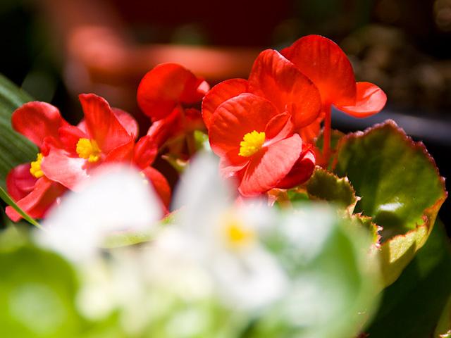 ベゴニア(Begonia)の写真(フリー素材)
