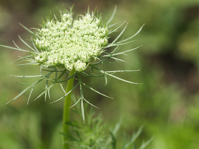 ニンジンの花の写真(フリー素材)