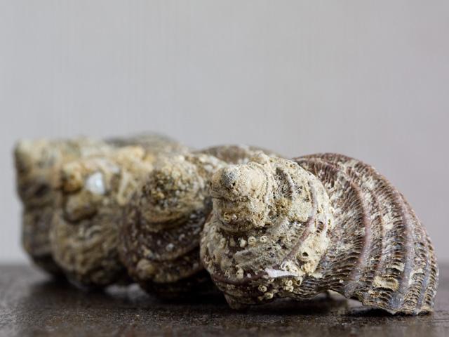 巻き貝の写真(フリー素材)