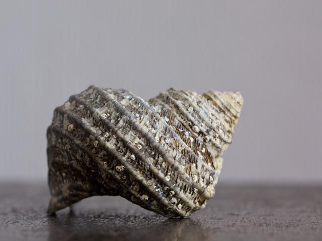 巻き貝(まきがい)の写真(フリー素材)