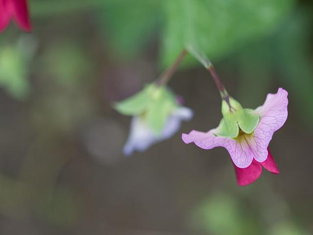 豌豆(エンドウ)の写真(フリー素材)