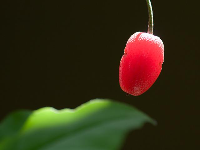 茱萸(グミ)の実の写真(フリー素材)