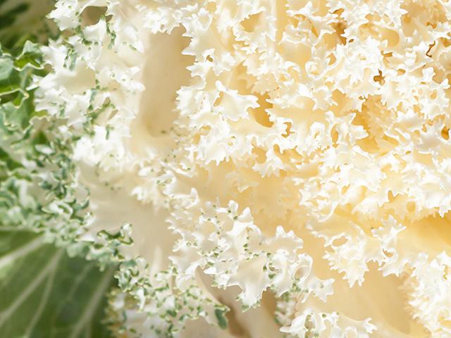 葉牡丹(はぼたん)の写真(フリー素材)