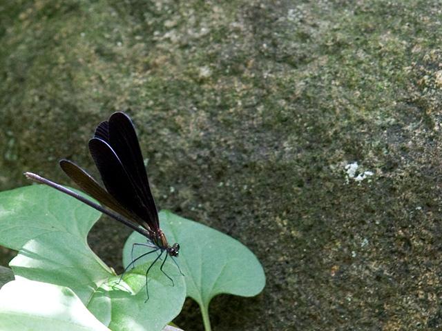 ハグロトンボと蕺草(どくだみ)の葉の写真(フリー素材)