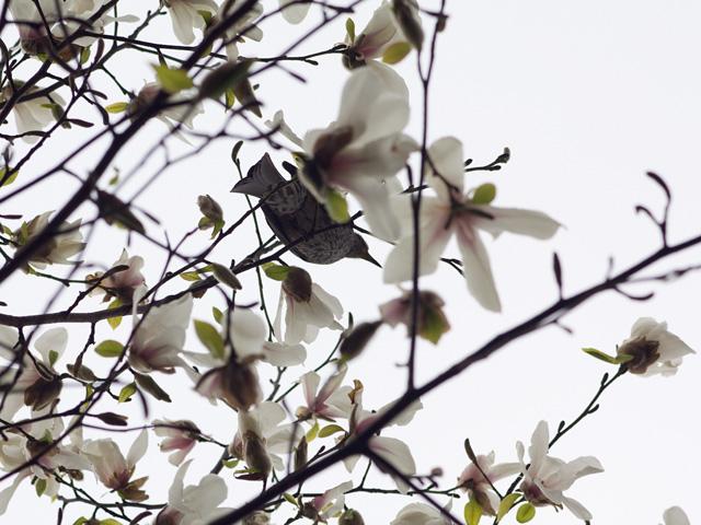 白木蓮(ハクモクレン)の写真(フリー素材)