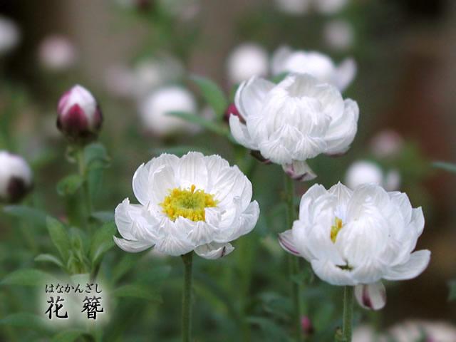 花簪(はなかんざし)の写真(フリー素材)