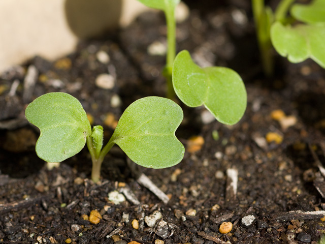二十日大根(はつかだいこん)の芽の写真(フリー素材) 二十日大根(はつかだいこん)の芽 緑のハー