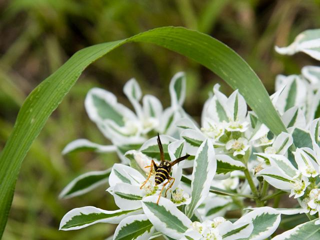 初雪草(はつゆきそう)とスズメバチの写真(フリー素材)