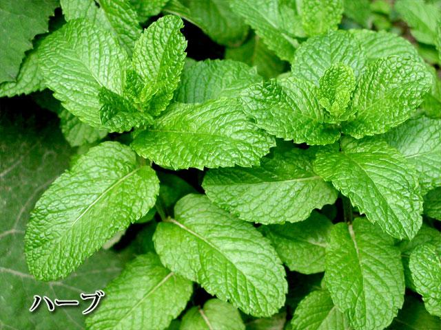 herbの写真(フリー素材)