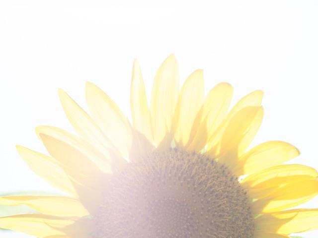 向日葵(ひまわり)の写真(フリー素材)