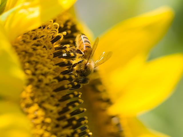 向日葵(ひまわり)とミツバチ(蜜蜂)の写真(フリー素材)