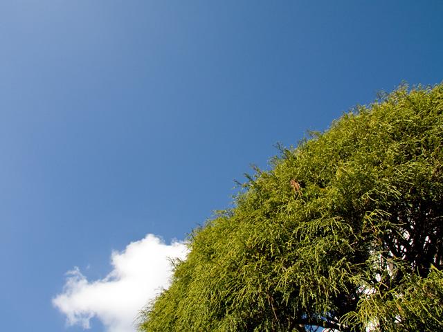 檜(ヒノキ)の写真(フリー素材)