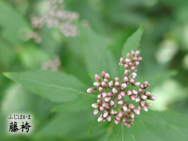 藤袴(ふじばかま)の写真(フリー素材)