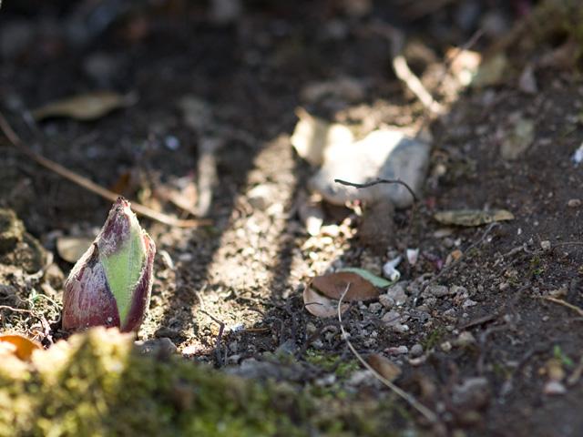 蕗の薹(ふきのとう)の写真(フリー素材)