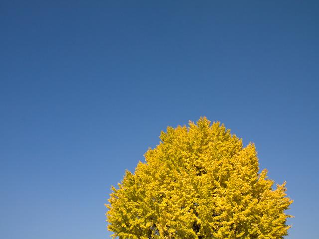 銀杏(イチョウ)の写真(フリー素材)