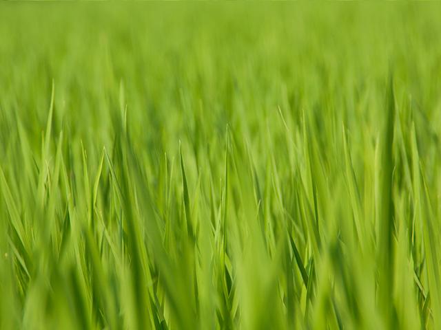 稲(いね)の写真(フリー素材)