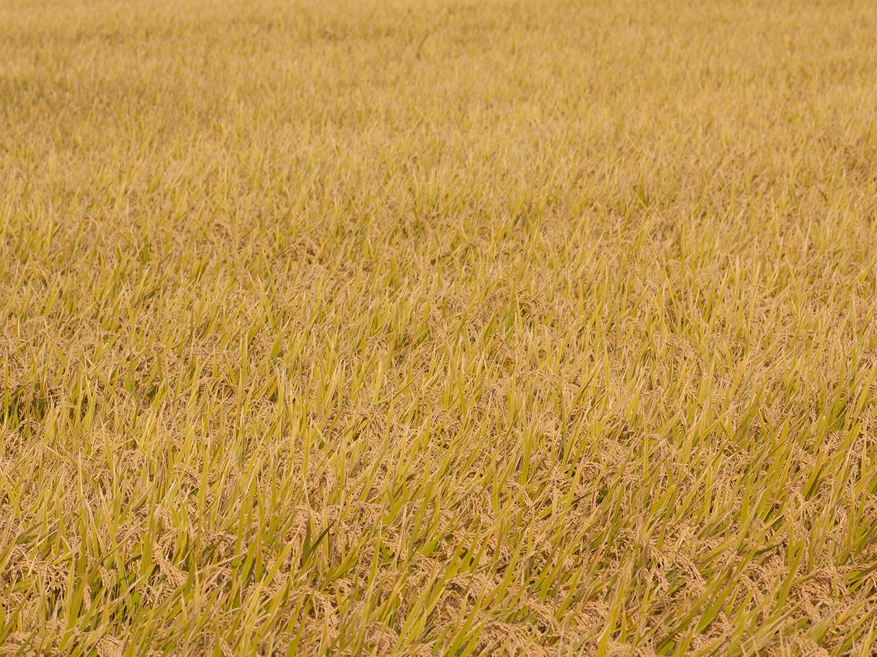 田んぼの稲(いね)の写真(フリー素材)