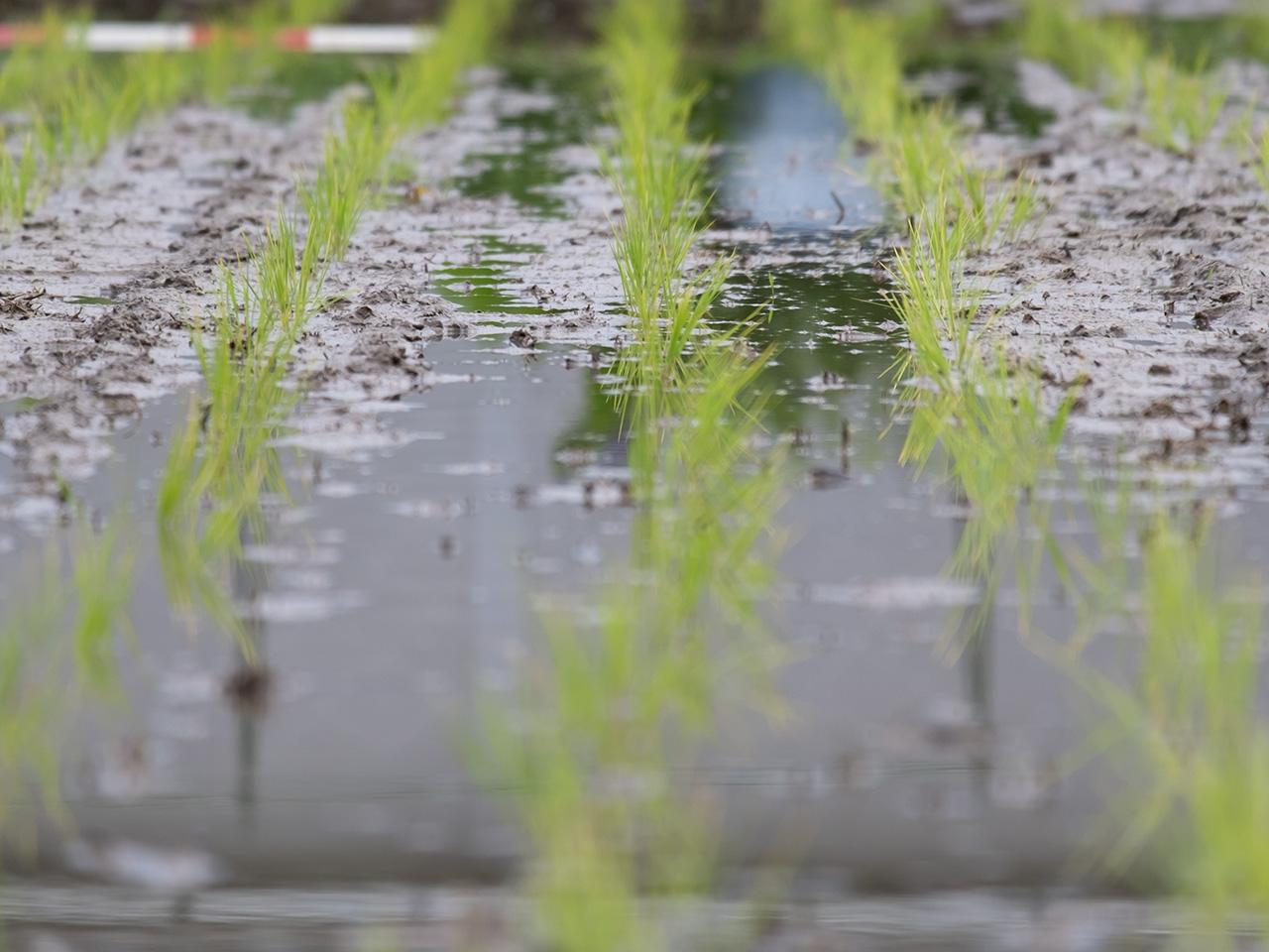 稲(いね)の苗(なえ)の写真(フリー素材)