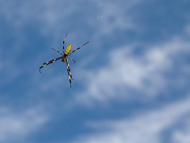 女郎蜘蛛(ジョロウグモ)の写真(フリー素材)