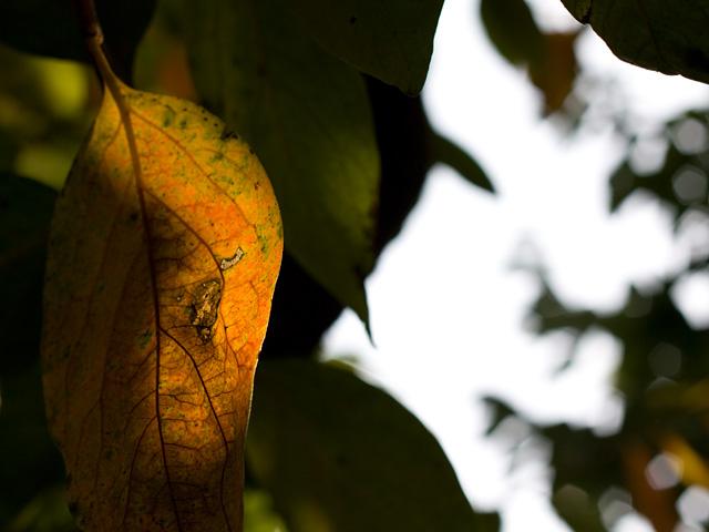 柿の葉(紅葉)の写真(フリー素材)