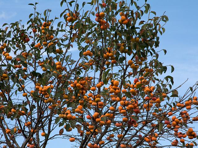 柿(かき)の写真(フリー素材)
