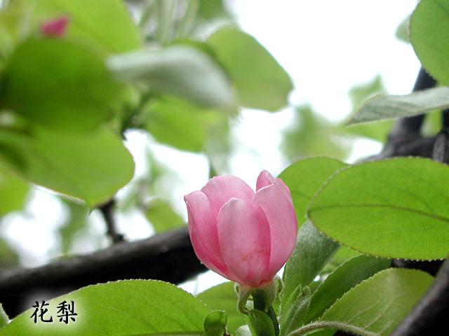 花梨(かりん)の写真(フリー素材)