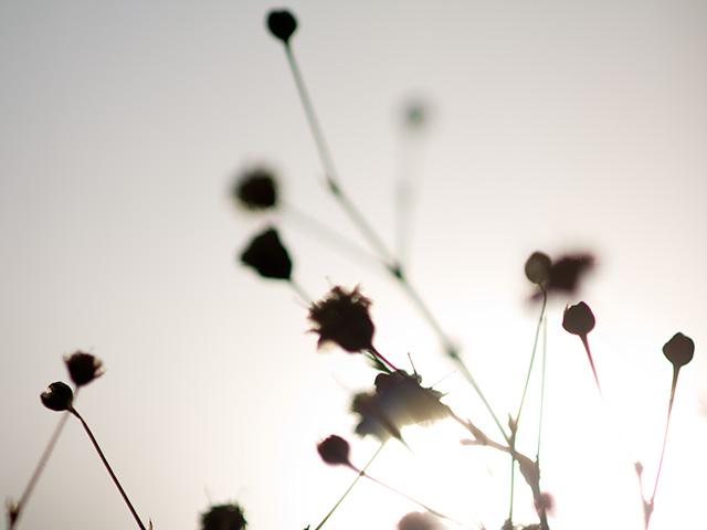 霞草(かすみそう)の写真(フリー素材)