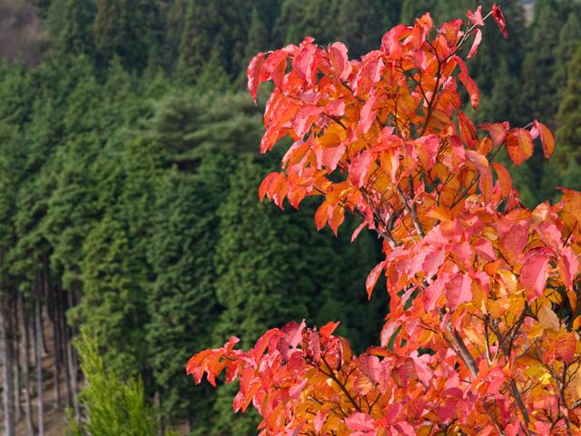 ケヤキの紅葉の写真(フリー素材)
