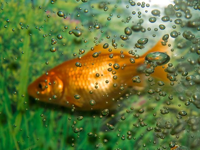 金魚(きんぎょ)の写真(フリー素材)