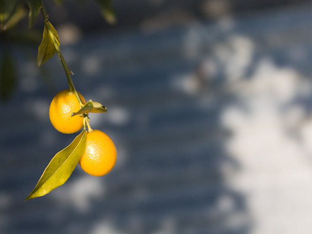 金柑(きんかん)の写真(フリー素材)