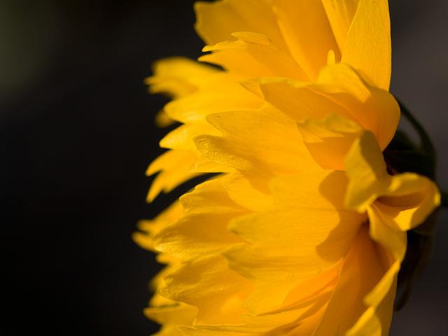金鶏菊(きんけいぎく)の写真(フリー素材)
