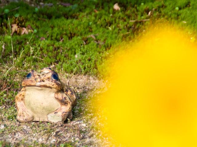 金鶏菊(きんけいぎく)とカエルの写真(フリー素材)