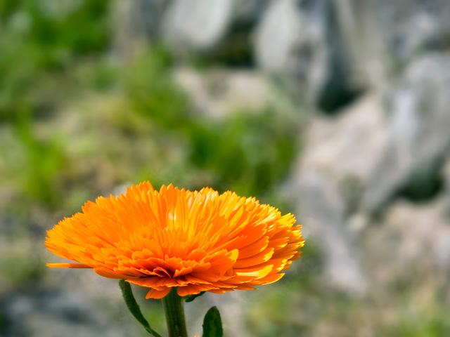 金盞花(きんせんか)の写真(フリー素材)