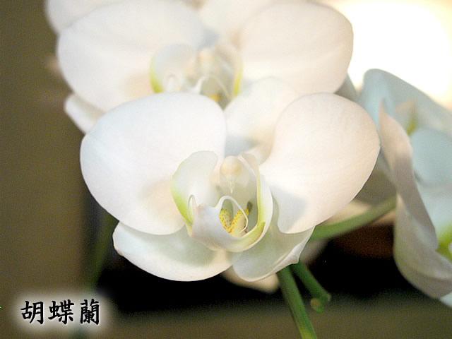 胡蝶蘭(こちょうらん)の写真(フリー素材)