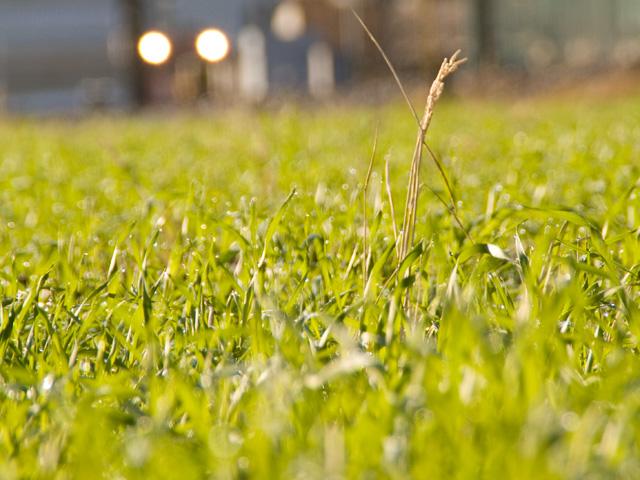 小麦(こむぎ)畑の写真(フリー素材)