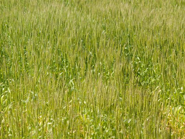 小麦(こむぎ)の写真(フリー素材)