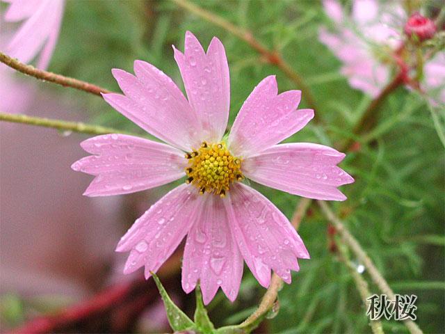 秋桜(コスモス)の写真(フリー素材)