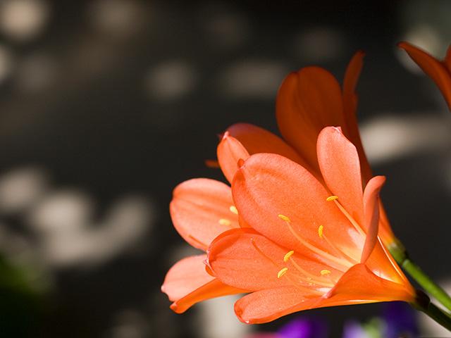 君子蘭(クンシラン)の写真(フリー素材)